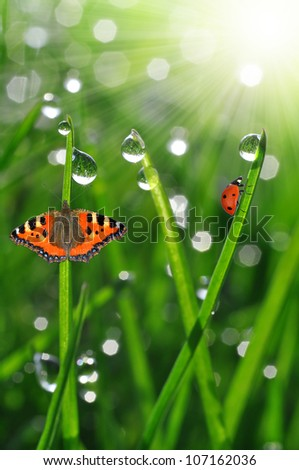 fresh morning dew and ladybird