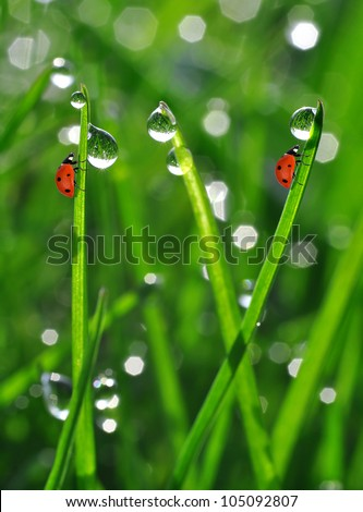 Fresh morning dew on a spring grass and little ladybugs
