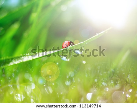 Fresh morning scene with dew on a spring grass and ladybug
