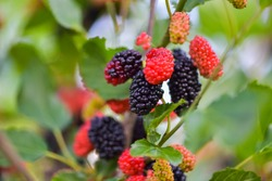 Fresh mulberries, healthy fruit in tree branches, have a green background in Tangshan, Hebei Province, China.