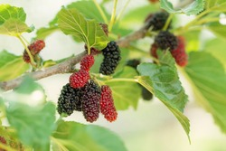 Fresh mulberry, black ripe and red unripe mulberries on the branch of tree. Healthy berry fruit.