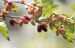 Fresh mulberry fruits on branch of red mulberry tree