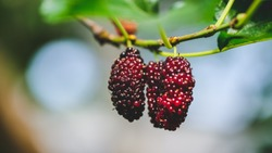 Fresh mulberry, on the tree.