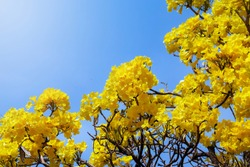 Fresh Natural flower in bright day,beautiful yellow flower in the garden Silver trumpet tree, Tree of gold,Paraguayan silver trumpet tree,Tabebuia aurea with clear blue sky background Thailand.