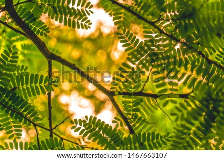 Fresh natural green tamarind leaves with warm bokeh evening sunlight background