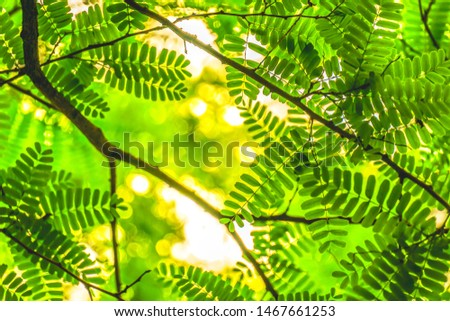 Fresh natural green tamarind leaves with warm bokeh morning sunlight background