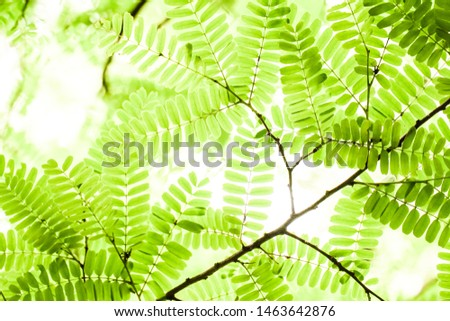 Fresh natural green tamarind leaves with warm sunlight bokeh background