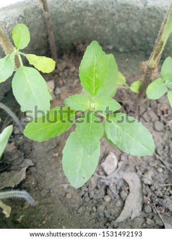 fresh natural green tulsi leaves