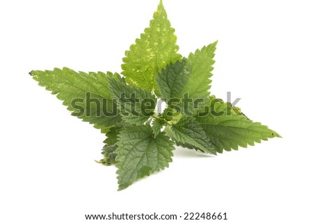 fresh nettle isolated on white