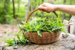 Fresh nettles. Basket with freshly harvested nettle plant. Spring season of harvesting herbs.