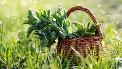 Fresh nettles. Basket with freshly harvested nettle plant. Urtica dioica, often called common nettle, stinging nettle, or nettle leaf. first spring vitamins. Ingredient of vitamin salad.