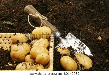 Fresh new potatoes in a basket lying on soil next to a garden trowel - stock photo