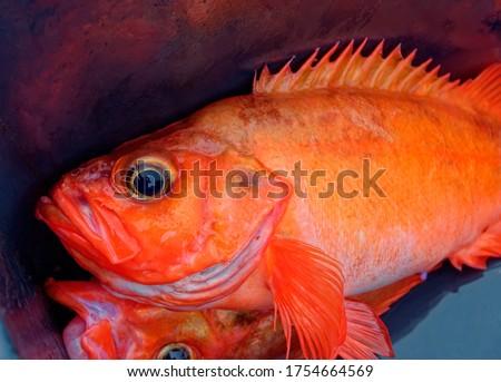 Photo of  Fresh ocean perch (Atlantic redfish)  in fisherman`s plastic box.