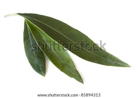 Fresh olive leaves, isolated on white background.
