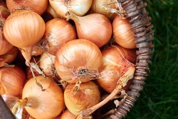 Fresh onions harvest  in wooden basket on grass. Freshly dug onion bulbs. Onions after harvesting from village garden. Village gardening. Bio products healthy lifestyle.