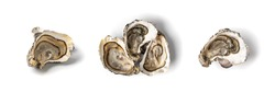 Fresh opened oyster half isolated on white background. Raw french oysters mollusc, shellfish or mussels collection top view