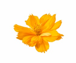 fresh orange cosmos flower blooming side view center. Isolated on white background.