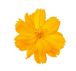 fresh orange cosmos flower blooming top view center. Isolated on white background.
