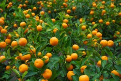 fresh orange on plant