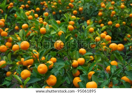 fresh orange on plant - stock photo