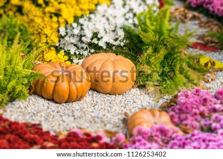 Fresh orange pumpkins and chrysanthemums in autumn garden. Fall garden, park with decorative pumpkin, plants, flowers and stones. Halloween, Thanksgiving, decoration for the holiday house and garden. #1126253402