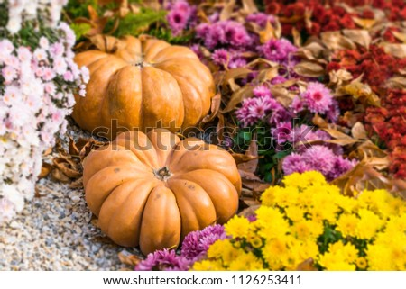 Fresh orange pumpkins and chrysanthemums in autumn garden. Fall garden, park with decorative pumpkin, plants, flowers and stones. Halloween, Thanksgiving, decoration for the holiday house and garden. #1126253411