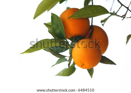 Fresh oranges on a tree branch isolated on white background. Shallow DOF.