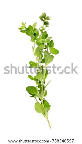 fresh Oregano herb isolate on white background #758540557