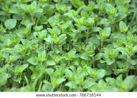 Fresh Oregano in the garden #786718144