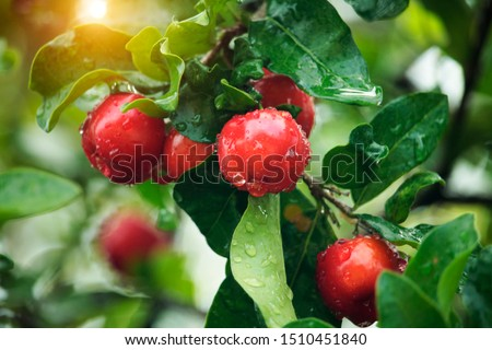 Fresh organic Acerola cherry.Thai or Acerola cherries fruit on the tree with water drop, high vitamin C and antioxidant fruits.