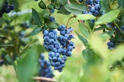 Fresh organic blueberrys on the bush. Vivid colors.