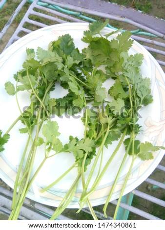 fresh organic cilantro. organic vegetables #1474340861