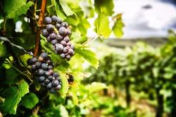 Fresh organic grape on vine branch