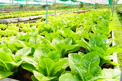 Fresh organic lettuce growing in vegetable plot inside clean and beautiful greenhouse. Sustainable agriculture, Agroecosystem, Healthy food, food supply chain, Water use efficiency, Farm to fork
