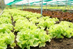 Fresh organic lettuce growing in vegetable plot inside clean and beautiful greenhouse. Sustainable agriculture, Agroecosystem, Healthy food, Safety, Supply chain, Waterwaste, Farm to fork, Production.