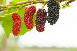 Fresh organic mulberries green, yellow, red unripe and black ripe berry on fruit tree mulberries branch and green leaves. Healthy food it has a sweet and sour taste that can be used to make a smoothie