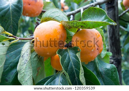 Fresh organic persimmons in Thailand