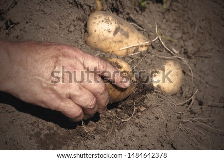 Fresh organic potatoes from the soil, harvesting, manual harvesting.