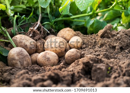 Photo of  Fresh organic potatoes in the field,harvesting potatoes from soil.