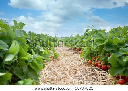 fresh organic strawberries growing on the vine