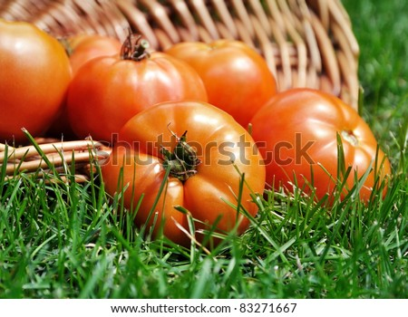 fresh organic tomatoes  in a basket on a grass