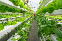 Fresh organic vegetable grown using aquaponic or hydroponic farming.