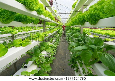 Photo of  Fresh organic vegetable grown using aquaponic or hydroponic farming.