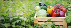 Fresh organic vegetables in a wooden box on the background of a vegetable garden.Cabbage, pepper, eggplant, carrot, cucumber.Raw healthy food concept. Concept of biological, bio products, bio ecology