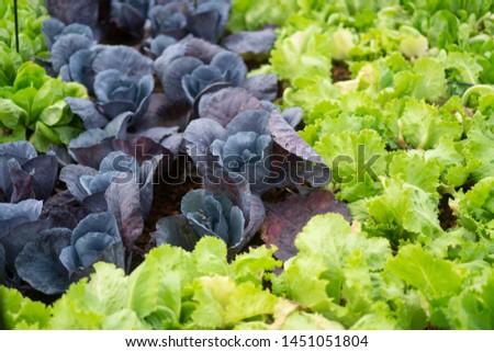 fresh organic vegetables in organic farm