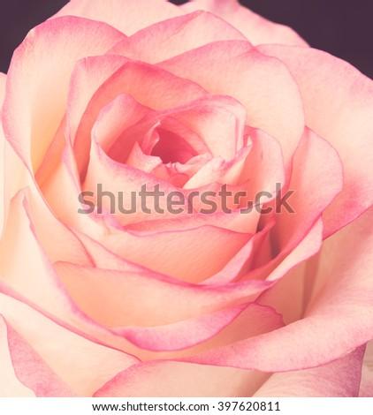 fresh pale pink rose #397620811