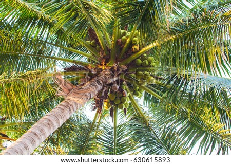 Fresh palm tree with coconuts. Coco palm top view from ground. Tropical tree toned photo. Natural backdrop for summer vacation holiday banner. Exotic nature poster template. Green palm leaves on sky