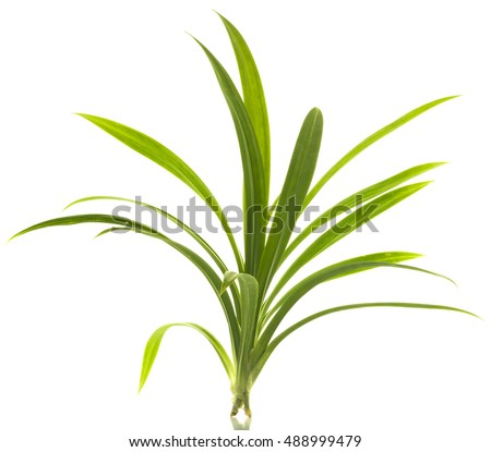 Fresh Pandan leaves isolated on white background. #488999479