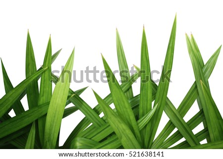 Fresh Pandan leaves isolated on white background.Green Leaves of Grass Blades - Horizontal Panorama - Blades Isolated on White Background - Graphic Illustration. #521638141