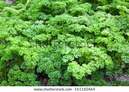 Fresh parsley in the garden